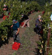 Säsongsarbetare i Italien. Antonio Calanni / TT NYHETSBYRÅN
