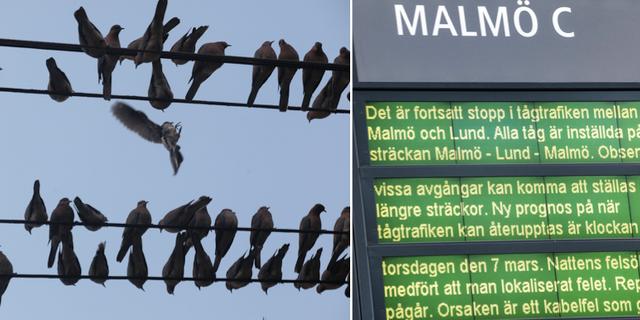 Fåglar misstänks ligga bakom tågkaoset. TT