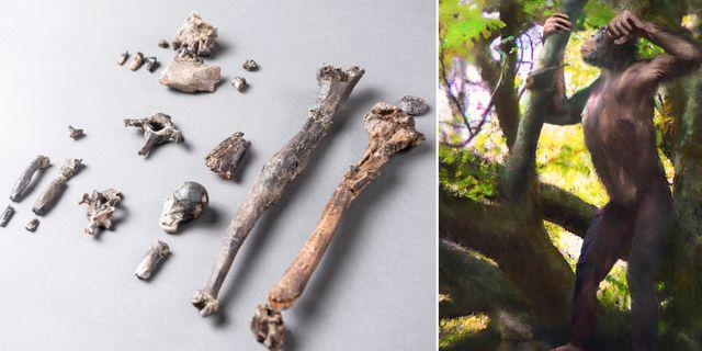 Fossil/illustration av hur Danuvius guggenmosi kan ha sett ut. TT