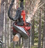 Arkivbild: Skogsavverkning Johan Gunséus / TT / TT NYHETSBYRÅN