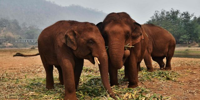 Elefanter i Chiang Mai i norra Thailand. LILLIAN SUWANRUMPHA / TT NYHETSBYRÅN