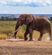 En elefant i nationalparken Amboseli. PAUL OBUNA / WildlifeDirect