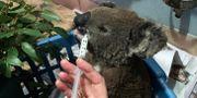 Koalan Anwen räddades från bränderna och får behandling. STEFICA BIKES / TT NYHETSBYRÅN