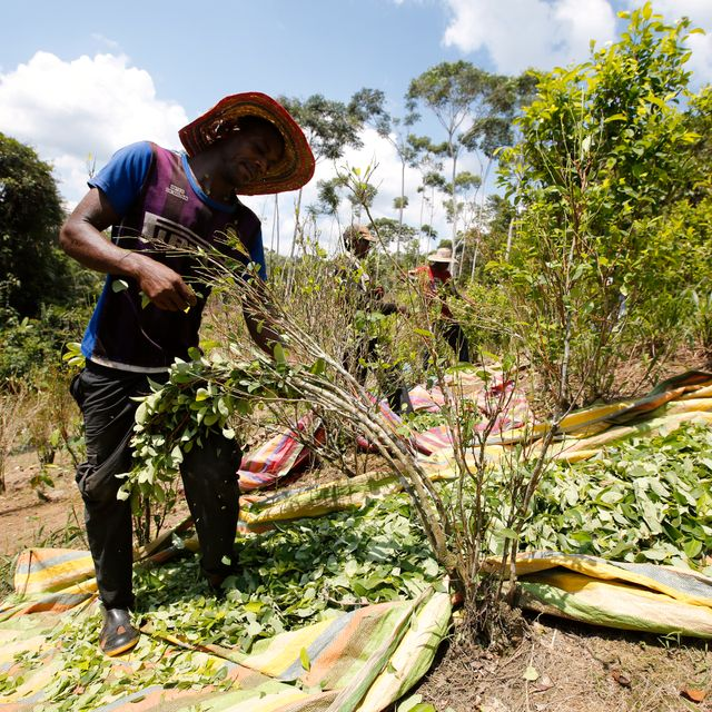 In this March 3, 2017 photo, a peasant harvests coca leaves in Puerto Bello, in the southern Colombia's state of Putumayo. The amount of land in Colombia being used to harvest coca, the plant used to make cocaine, ticked up again last year, continuing record highs despite a renewed campaign to manually eradicate the plant, new data from the White House said Thursday, March 5, 2020. Fernando Vergara / TT NYHETSBYRÅN