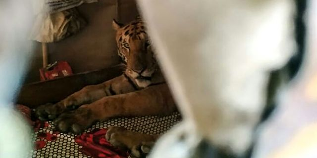 Tiger som flydde in i en affär. HANDOUT / Wildlife Trust of India