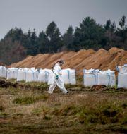 Bild från de danska minkgravarna i höstas. Morten Stricker / TT NYHETSBYRÅN
