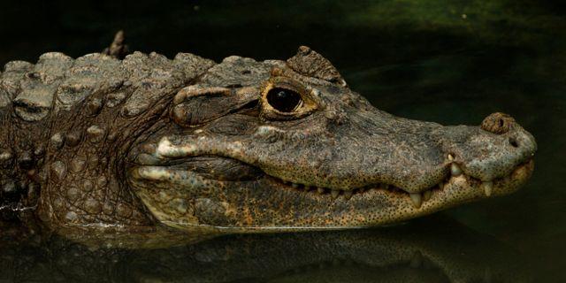 Alligator. Arkivbild. Arnulfo Franco / TT NYHETSBYRÅN
