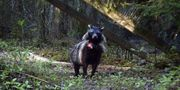 Gps-utrustad mårdhund Mårdhundsprojektet