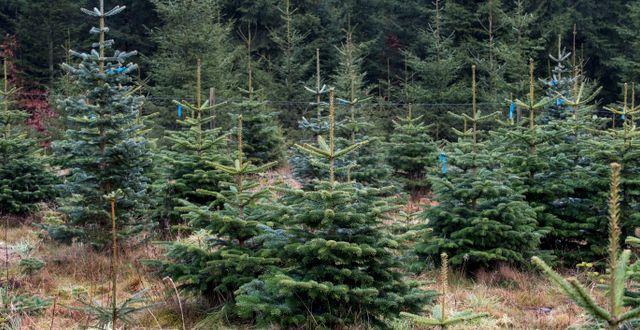 Arkivbild på julgransodling.  Johan Nilsson/TT / TT NYHETSBYRÅN