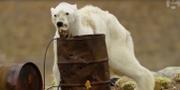 Isbjörnen filmades under en expedition i somras. Paul Nicklen