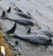 Döda delfiner och en kvinna som sanerar olja.  TT