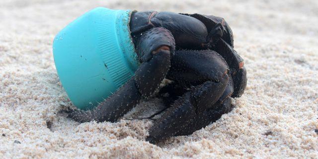 Krabba med plastburk. Jennifer Lavers / TT / NTB Scanpix