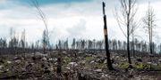 Arkivbild: Sörhörende, ett år efter skogsbranden i Västmanland Claudio Bresciani/TT / TT NYHETSBYRÅN