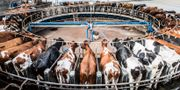 Kor i en mjölkkarusell hos Vadsbo Mjölk AB, Lars Pehrson/SvD/TT / TT NYHETSBYRÅN