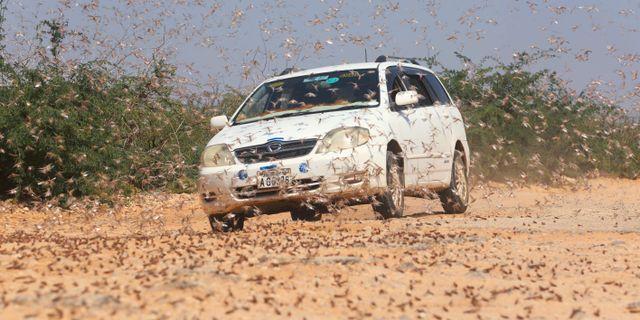 En bilist vid tusentals gräshoppor i Kenya. Feisal Omar / TT NYHETSBYRÅN