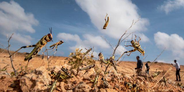 Gräshoppor i Somalia förra veckan. Ben Curtis / TT NYHETSBYRÅN
