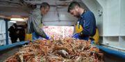 Fiskare på trålaren Good Fellowship i Nordsjön utanför den brittiska östkusten.  WILLIAM EDWARDS / AFP