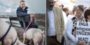 """Vänster: Henrik Schyffert leder SVT-programmet """"Köttets lustar"""". Höger: LRF manifesterar för svensk mjölk och svenskt lantbruk, arkivbild. Foto: Stina Stjernkvist/SVT resp. TT"""