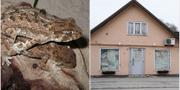 Ödlor av arten hjälmgecko samt bostaden Löberöd i Skåne.