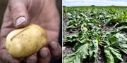 En potatis och sockerbetsplantor. TT.