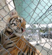 Omhändertagen tiger i Texas, arkivbild. Jon Shapley / TT NYHETSBYRÅN