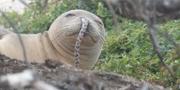 En munksäl med en ål i näsan.  Hawaiian Monk Seal Research Program