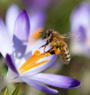 Ett bi på jakt efter pollen.  Lukas Schulze / TT NYHETSBYRÅN/ NTB Scanpix