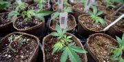 Marijuana. Arkivbild Steven Senne / TT / NTB Scanpix