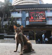 Katt framför börsskärm i Indien. Arkivbild.  Rafiq Maqbool / TT NYHETSBYRÅN