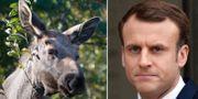 Illustrationsbild på älg/Emmanuel Macron. TT