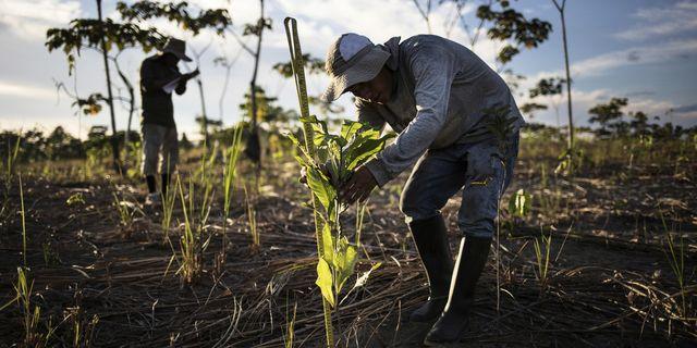 Återplantering av träd i Amazonas. Här i Peru.  TT