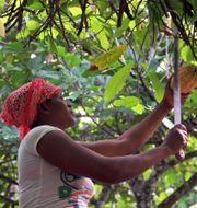 Kakaoodling i Ghana. Pressfoto: Fairtrade
