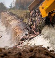 Döda minkar skyfflas ned i jorden.  Morten Stricker / TT NYHETSBYRÅN
