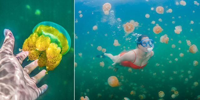 I Palau kan du snorkla med miljontals färgglada maneter. Getty
