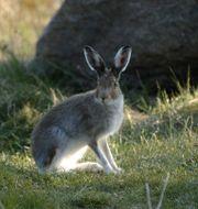 Den svenska skogsharen tog sig förra året in på listan över rödlistade arter, som nära hotad. Hasse Holmberg