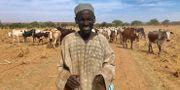 En medlem ur folkgruppen Fulani vallar sina kor utanför staden Tillaberi.  STRINGER / TT NYHETSBYRÅN