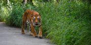 En tiger i Bannerghatta nationalpark i Bangalore, Indien.  Aijaz Rahi / TT NYHETSBYRÅN
