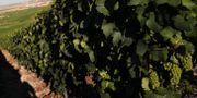 Druvor i den franska regionen Champagne.  Francois Mori / TT NYHETSBYRÅN