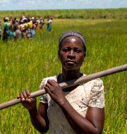 Paulina Livioni jobbar på risfält i Dondo, Moçambique. Karel Prinsloo / TT NYHETSBYRÅN