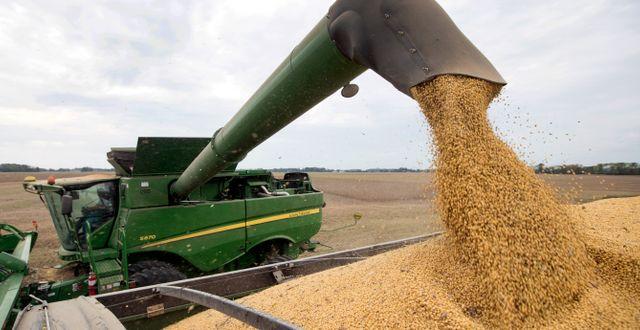 Illustrationsbild. Sojabönor lastas på ett flak på ett fält i Indiana.  Michael Conroy / TT NYHETSBYRÅN