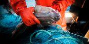 Torskfiske i Grisslehamn. Arkivbild. Yvonne Åsell / SvD / TT / TT NYHETSBYRÅN
