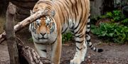Arkivbild. En tiger på Köpenhamns zoo.  JOHANSEN LINDA / TT / NTB Scanpix