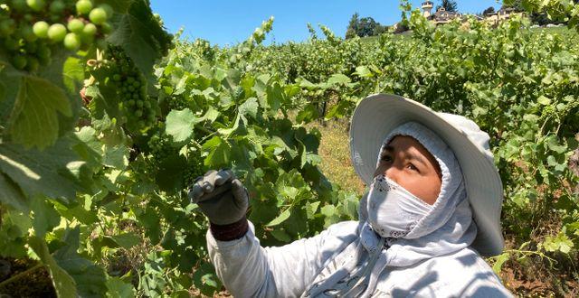 Alejandra Morales Buscio försöker skydda pinot noir-druvor från solen på en vingård i Oregon, USA. I hettan som råder låter vinodlarna mer blad sitta kvar på plantan, för att försöka skapa skugga.  Andrew Selsky / TT NYHETSBYRÅN