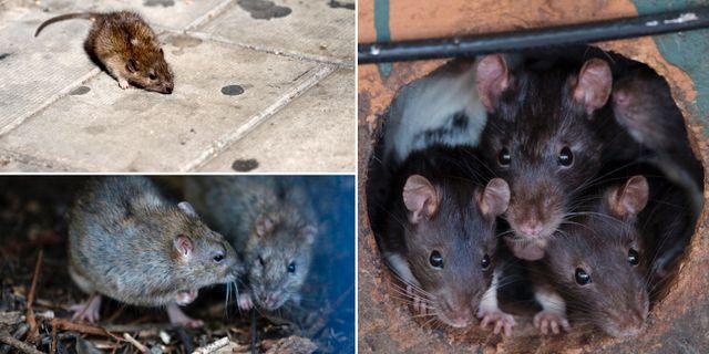 Råttor. TT