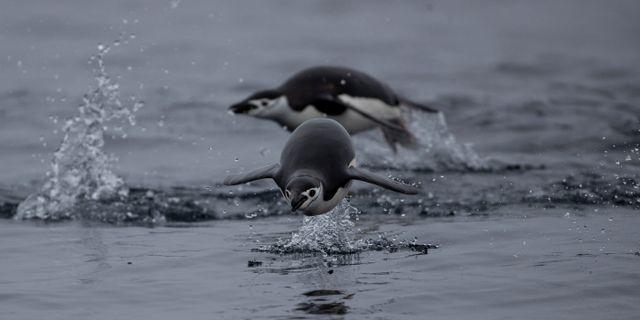 Pinginer på Antarktis. UESLEI MARCELINO / TT NYHETSBYRÅN