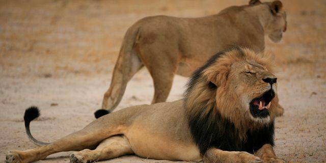 Cecil (längst fram) i Zimbabwes nationalpark 2012. Arkivbild. - / ZIMBABWE NATIONAL PARKS