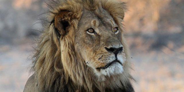 Lejonet Cecil, oktober 2013. Arkiv. Sean Herbert / TT / NTB Scanpix