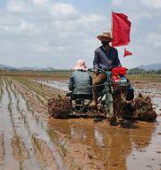 Risfält i Nordkorea. Arkivbild.  Jon Chol Jin / TT NYHETSBYRÅN