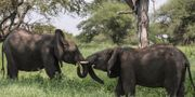 Elefanter i Tarangire-parken i norra Tanzania. Mosa'ab Elshamy / TT NYHETSBYRÅN