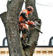 """""""När det gäller trädgårdstjänster så har även trädfällningen tillkommit och det tror vi har bidragit till ökningen"""", säger Pia Blank Thörnroos, skattejurist hos Skatteverket, till TT. Anders Wiklund/TT / TT NYHETSBYRÅN"""